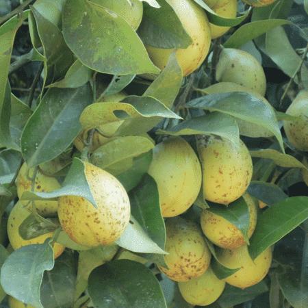 Nutmeg India Essential Oil
