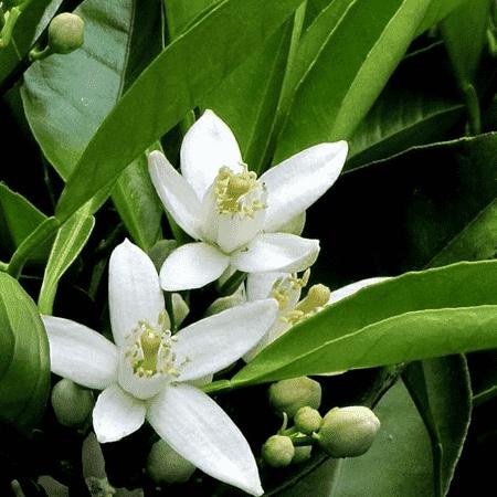 Petitgrain Pure & Natural Floral Waters