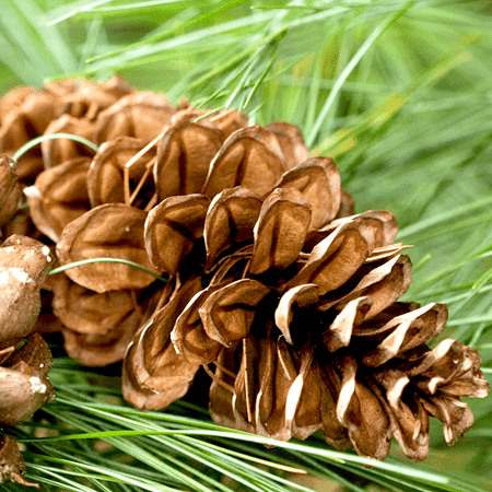 Pine Resinosa Essential Oil