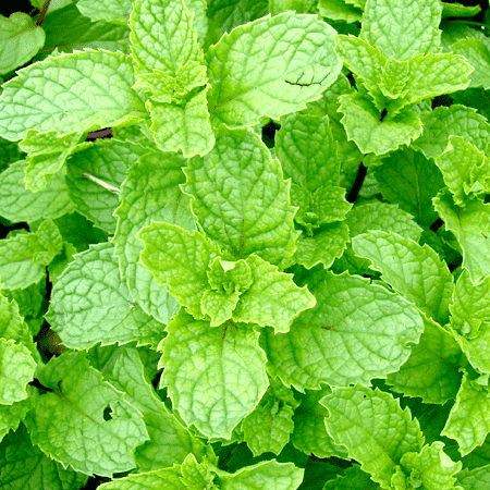 Spearmint India Essential Oil