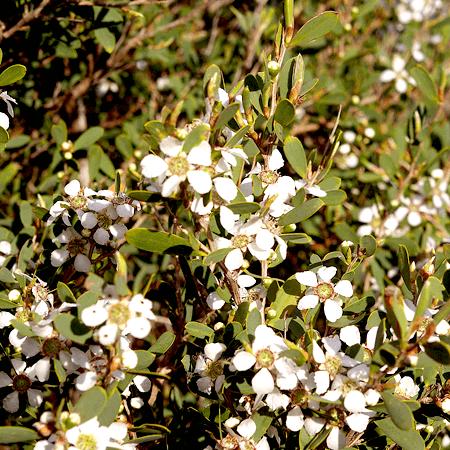 Tea Tree Essential Oil AAA Australian