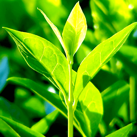 Tea Tree Organic Essential Oil