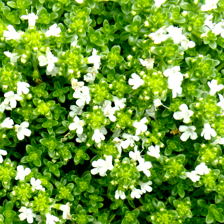 Thyme Essential Oil White