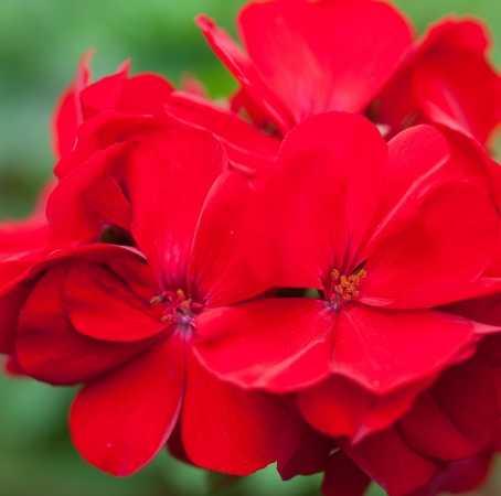 Rose Geranium South African Essential Oil