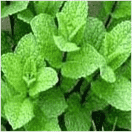 Mentha Citrata Peppermint Essential Oils