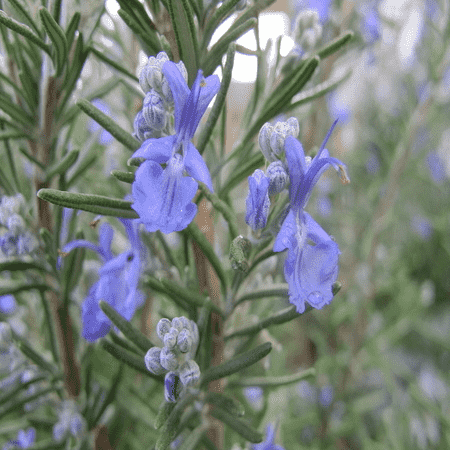 Rosemary Wild Crafted Essential Oils
